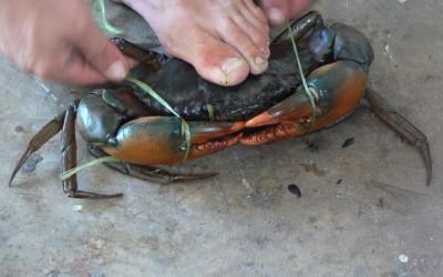 Mud Crabbing
